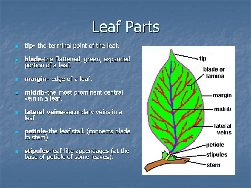 Leaf Parts tip- the terminal point of the leaf.