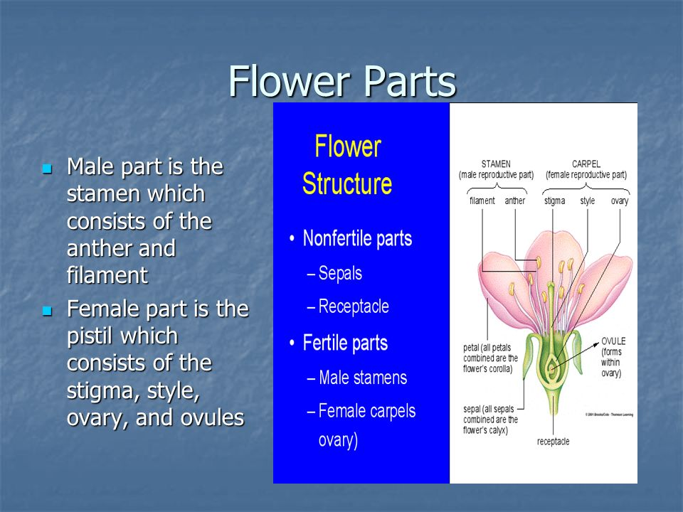 Flower Parts Male part is the stamen which consists of the anther and filament.