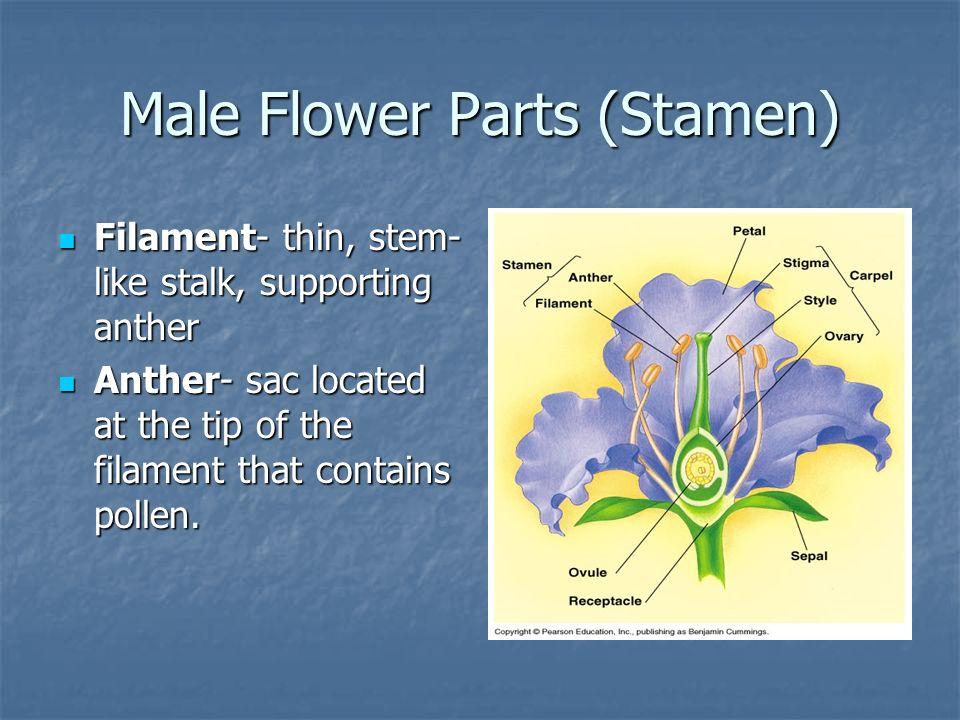 Male Flower Parts (Stamen)