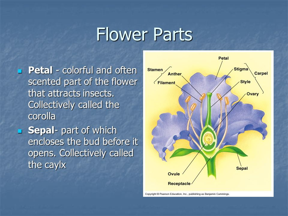 Flower Parts Petal - colorful and often scented part of the flower that attracts insects. Collectively called the corolla.