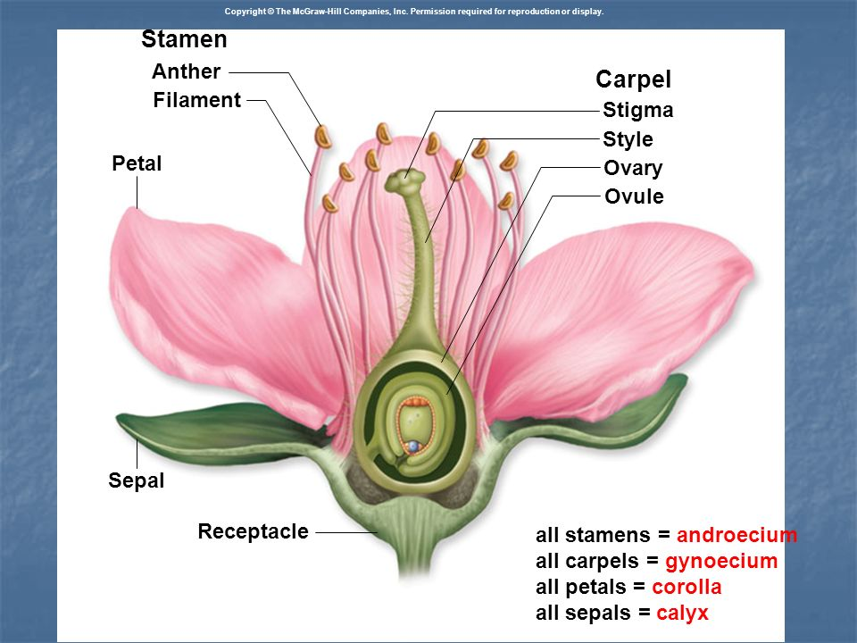 Stamen Carpel Anther Filament Stigma Style Petal Ovary Ovule Sepal