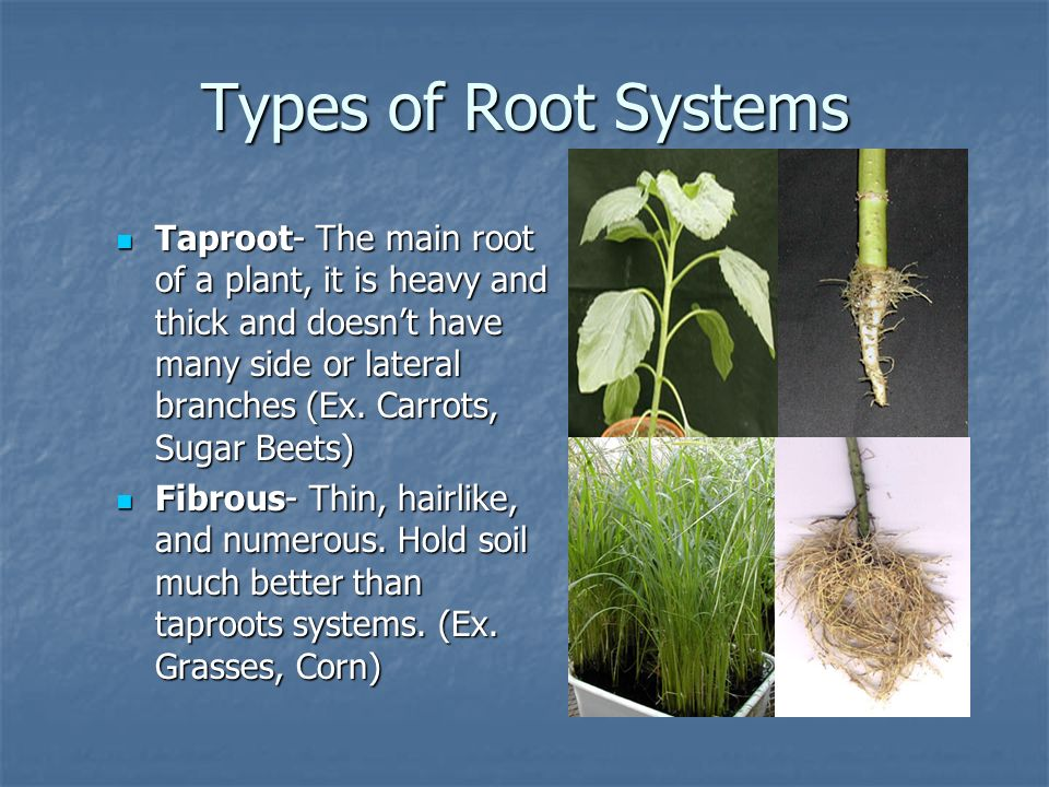 Types of Root Systems
