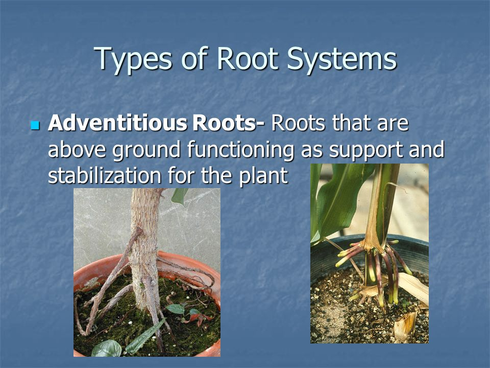 Types of Root Systems Adventitious Roots- Roots that are above ground functioning as support and stabilization for the plant.