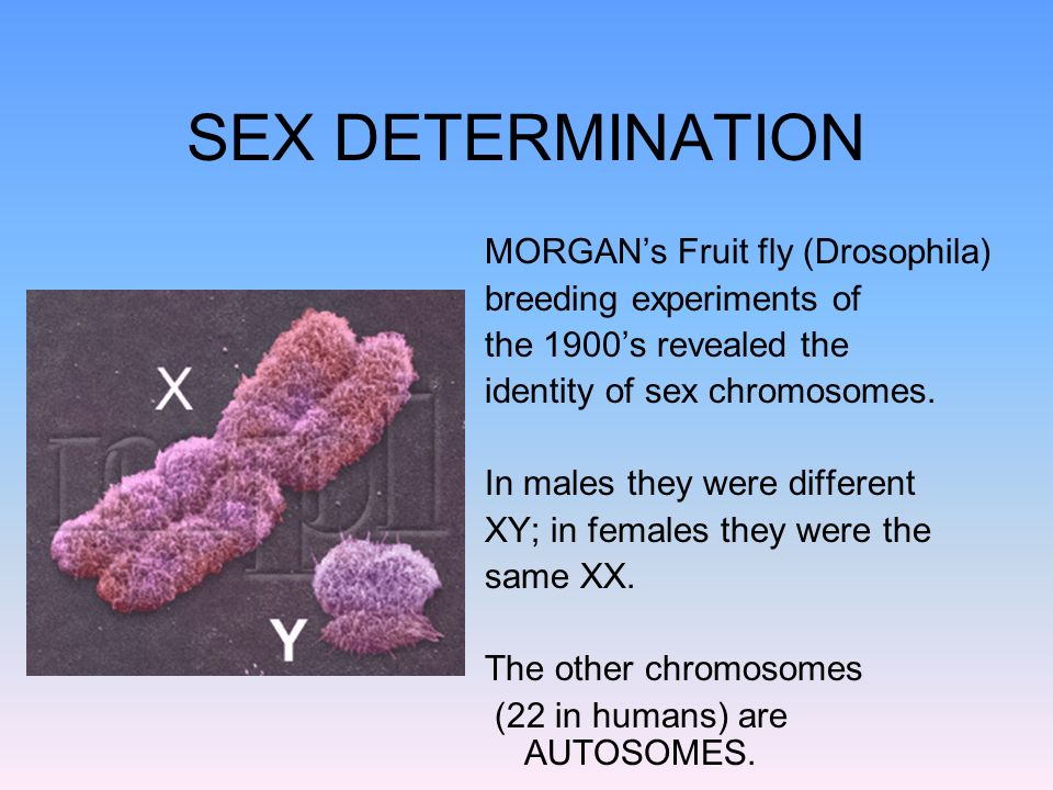 SEX DETERMINATION MORGAN's Fruit fly (Drosophila)