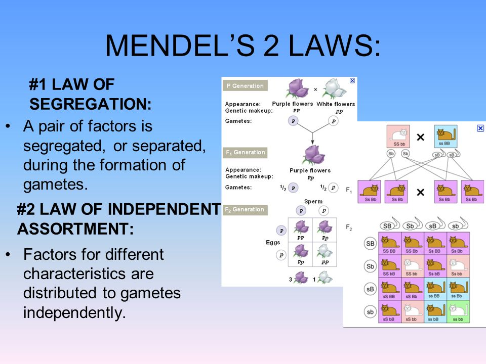 MENDEL'S 2 LAWS: #1 LAW OF SEGREGATION: