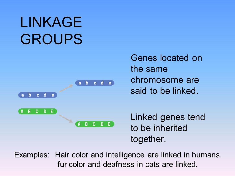 LINKAGE GROUPS Genes located on the same chromosome are said to be linked. Linked genes tend to be inherited together.