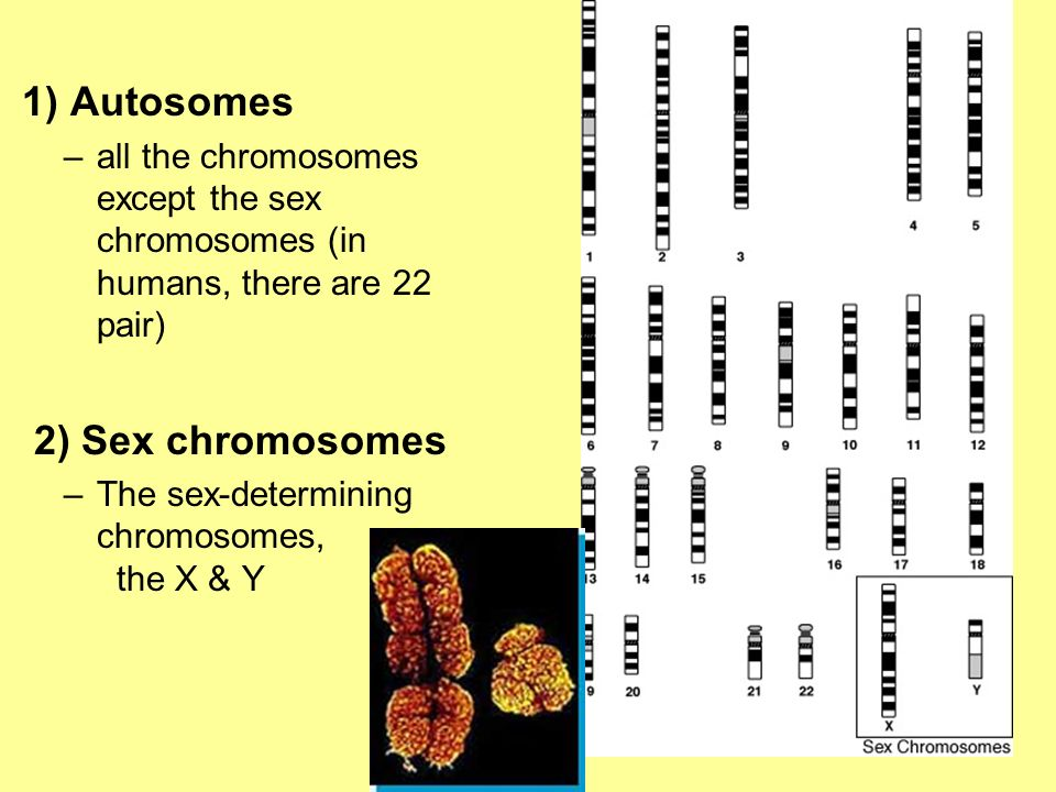 1) Autosomes 2) Sex chromosomes