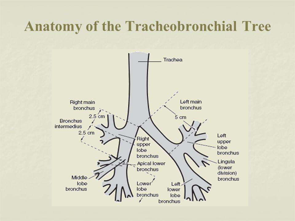 Anatomy of the Tracheobronchial Tree