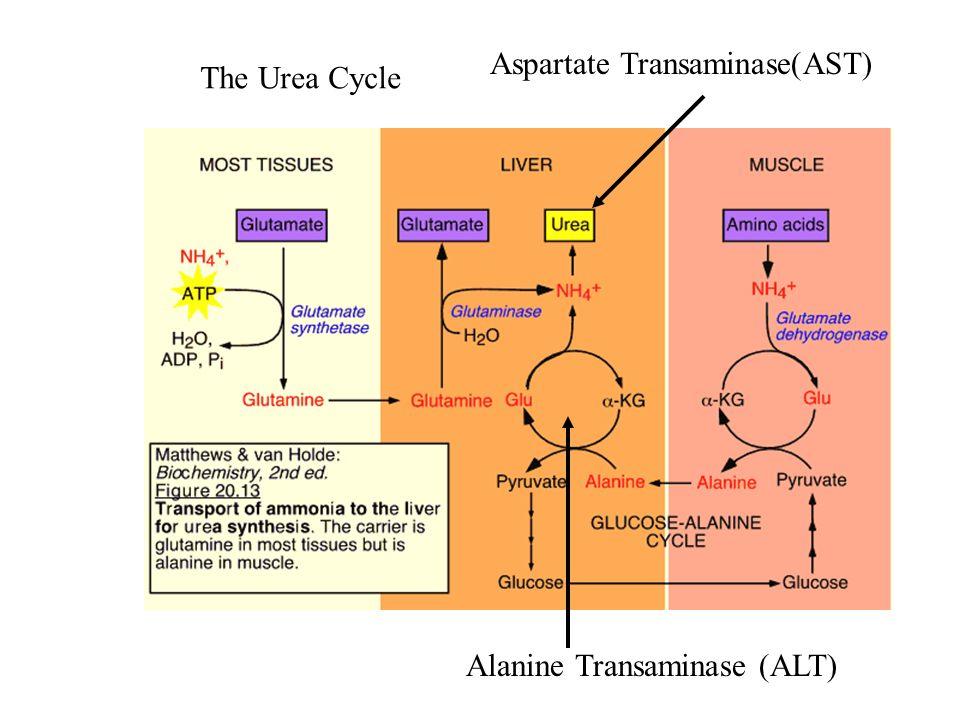 Aspartate Transaminase(AST)