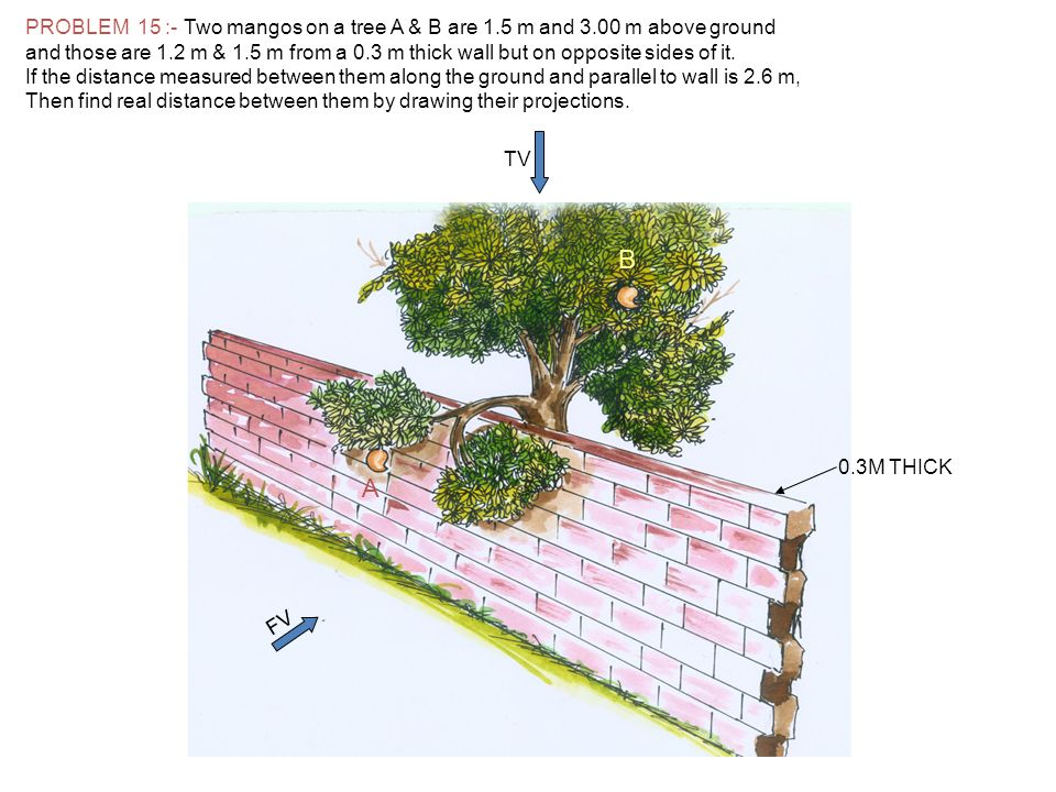 PROBLEM 15 :- Two mangos on a tree A & B are 1. 5 m and 3