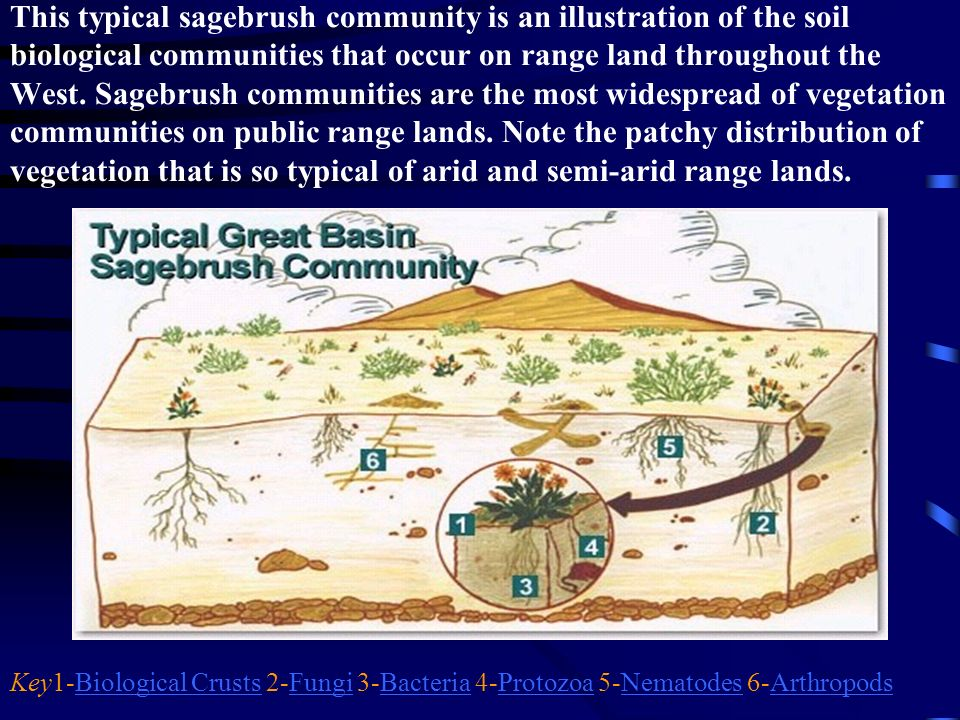 This typical sagebrush community is an illustration of the soil biological communities that occur on range land throughout the West. Sagebrush communities are the most widespread of vegetation communities on public range lands. Note the patchy distribution of vegetation that is so typical of arid and semi-arid range lands.