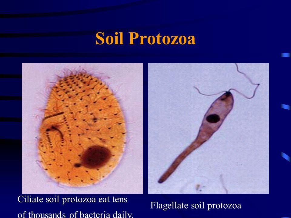 Soil Protozoa Ciliate soil protozoa eat tens