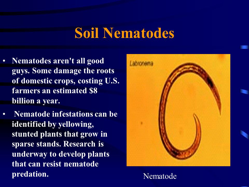 Soil Nematodes Nematodes aren t all good guys. Some damage the roots of domestic crops, costing U.S. farmers an estimated $8 billion a year.