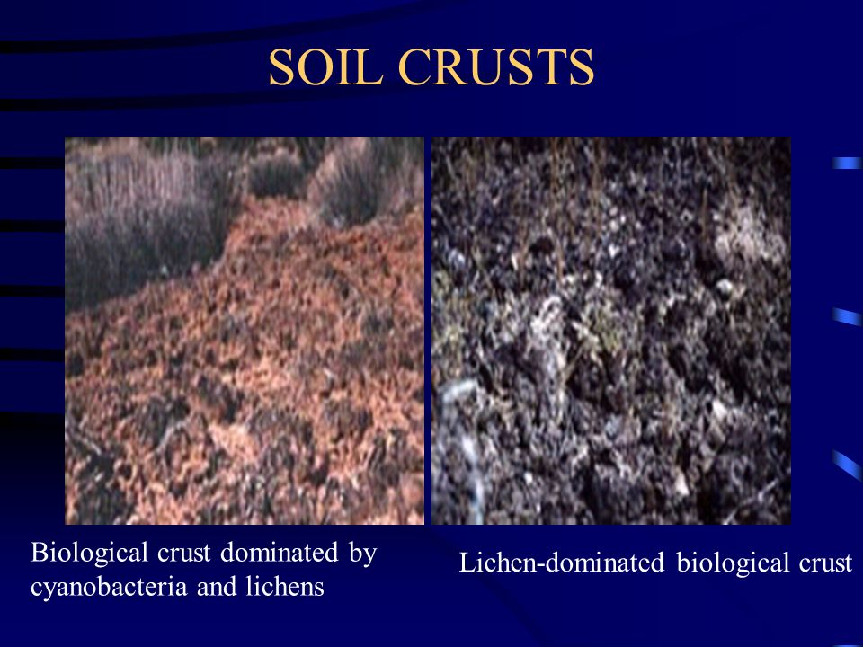SOIL CRUSTS Biological crust dominated by cyanobacteria and lichens