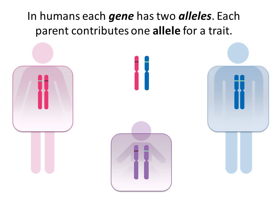 In humans each gene has two alleles