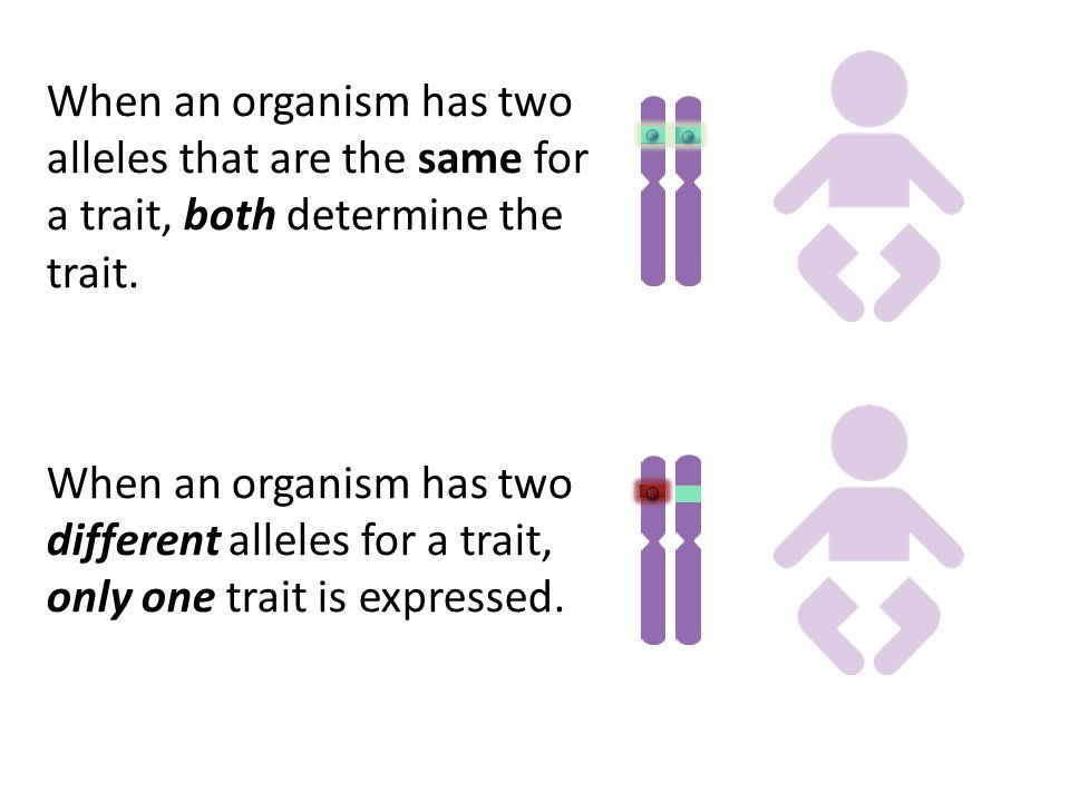 When an organism has two alleles that are the same for a trait, both determine the trait.
