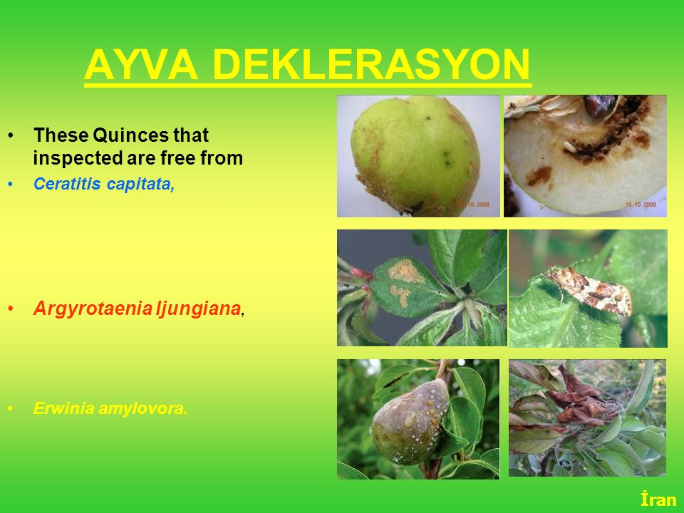 AYVA DEKLERASYON These Quinces that inspected are free from