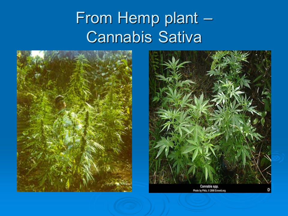 From Hemp plant – Cannabis Sativa