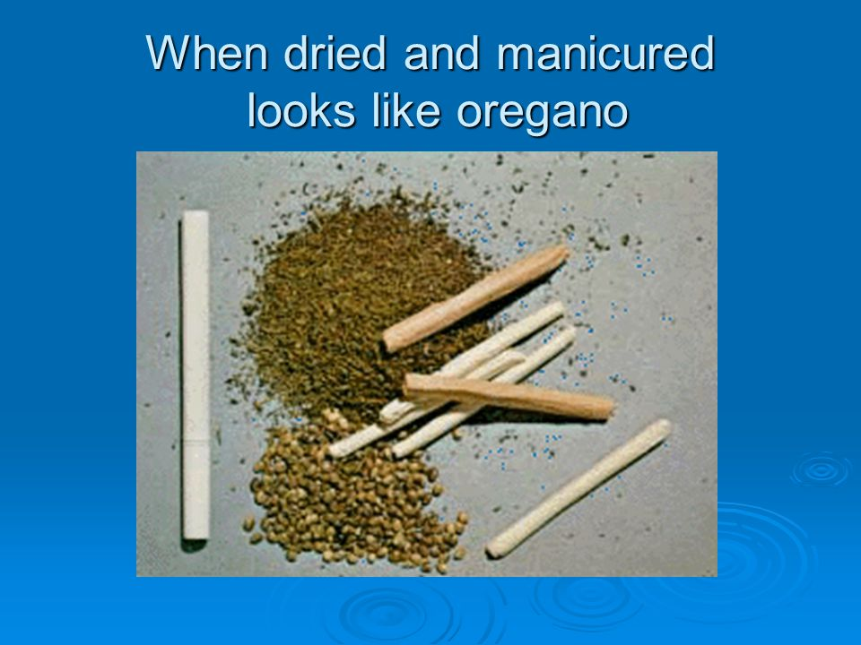 When dried and manicured looks like oregano