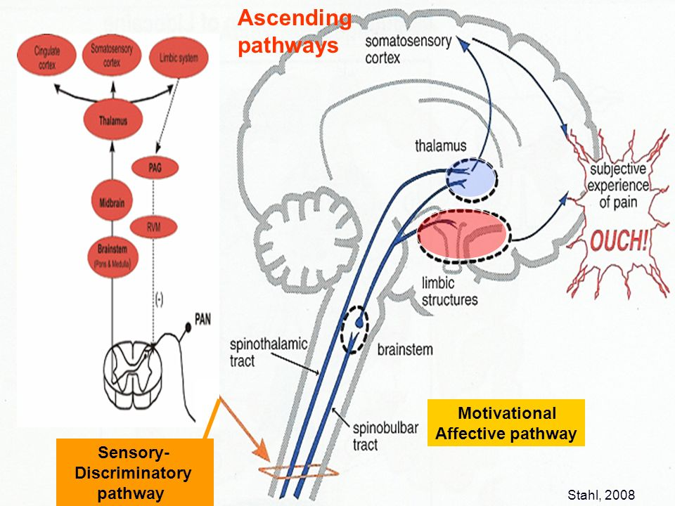 Ascending pathways Motivational Affective pathway