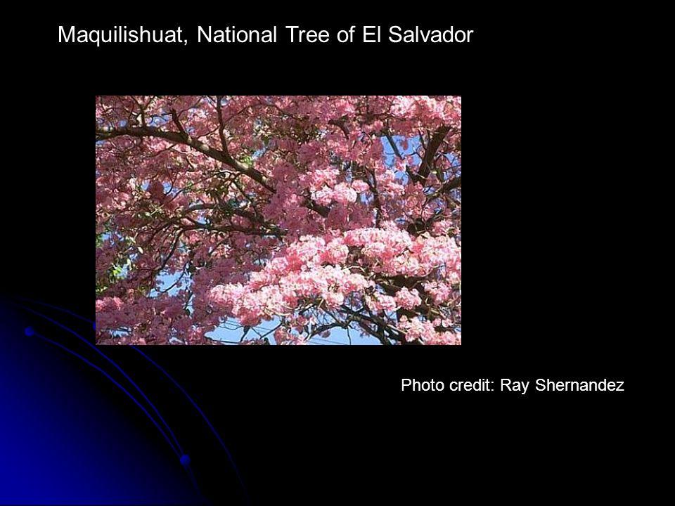Maquilishuat, National Tree of El Salvador