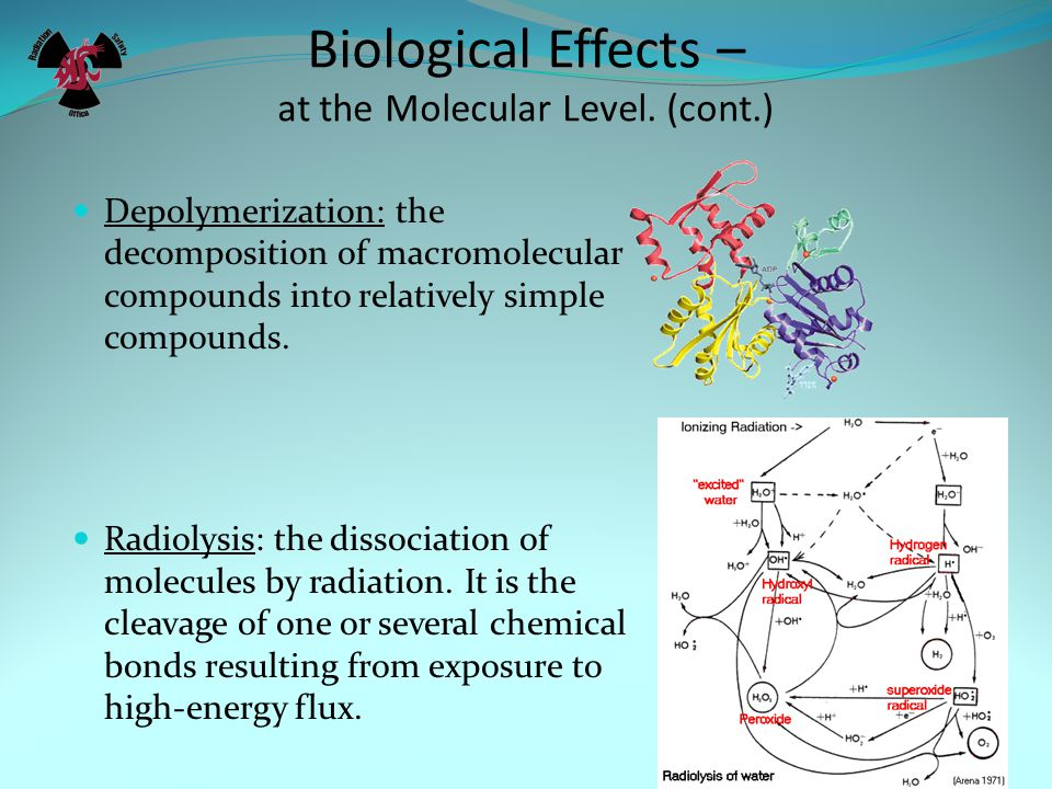 Biological Effects – at the Molecular Level. (cont.)