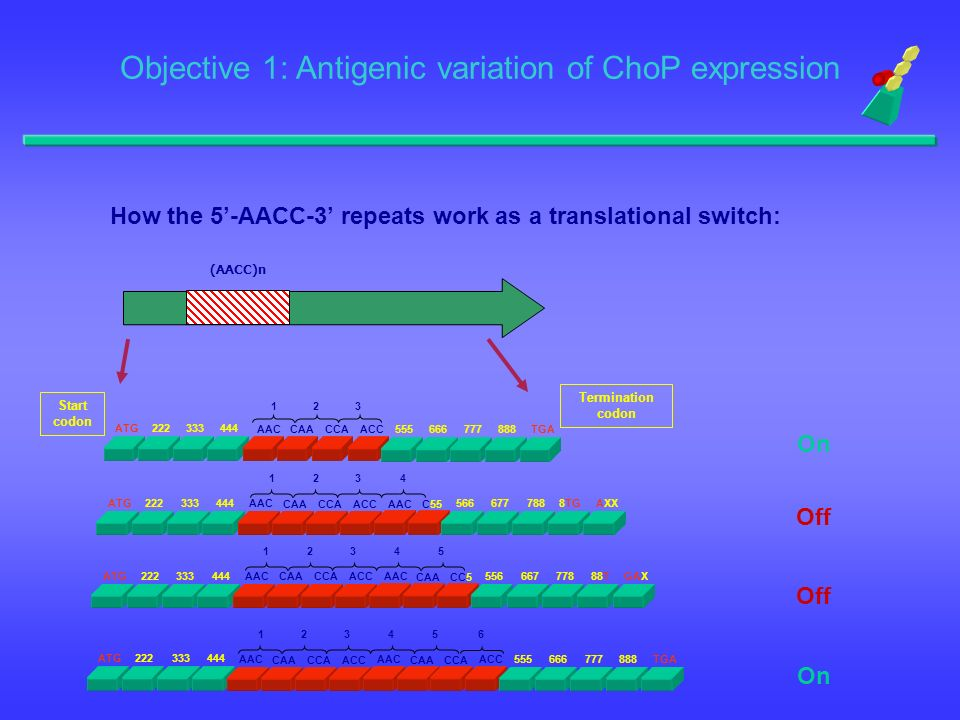 How the 5'-AACC-3' repeats work as a translational switch: