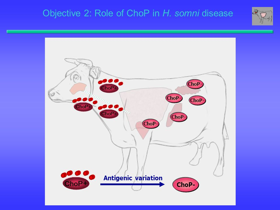 Objective 2: Role of ChoP in H. somni disease