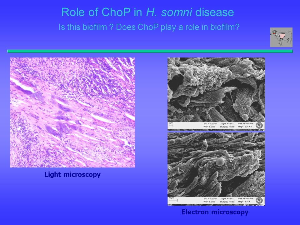 Role of ChoP in H. somni disease Is this biofilm