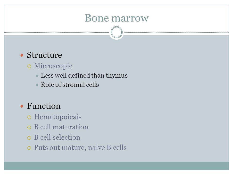 Bone marrow Structure Function Microscopic Hematopoiesis