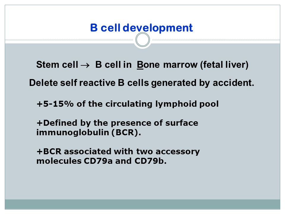 B cell development Stem cell  B cell in Bone marrow (fetal liver)