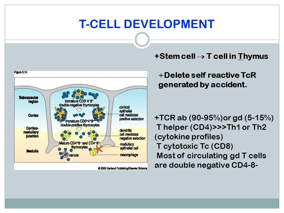 T-CELL DEVELOPMENT +Stem cell  T cell in Thymus