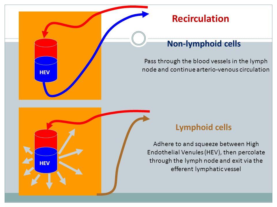Recirculation Non-lymphoid cells Lymphoid cells
