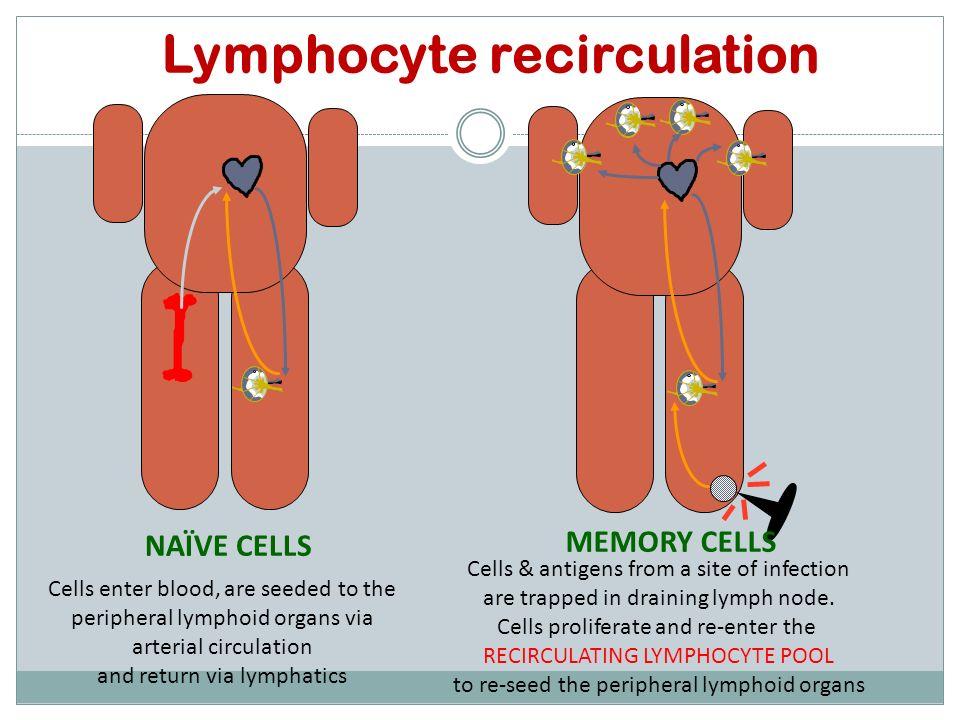 Lymphocyte recirculation