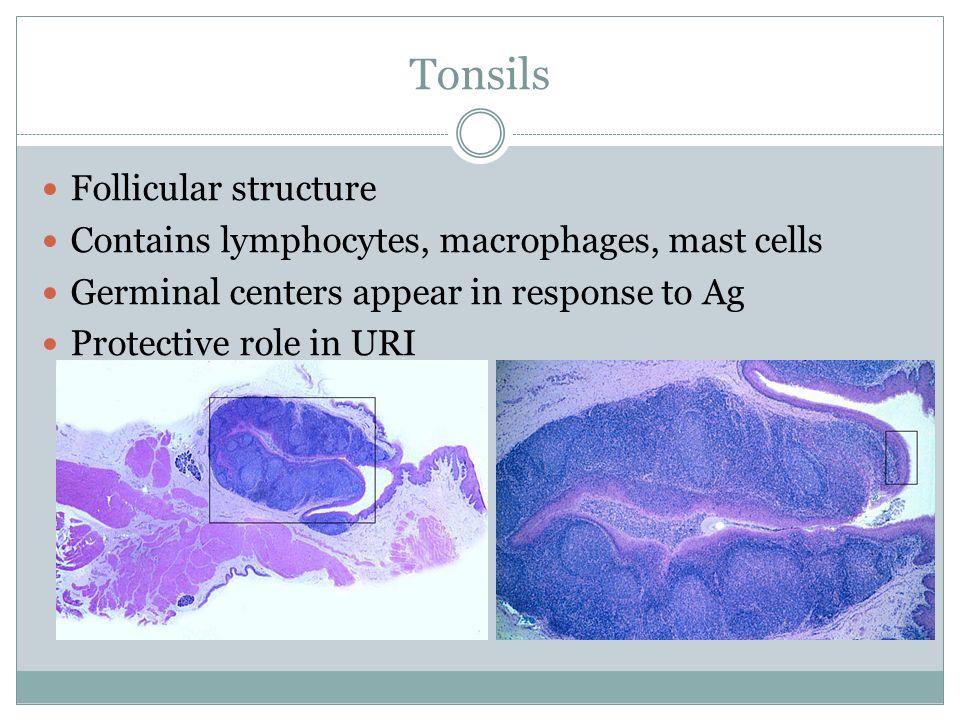 Tonsils Follicular structure