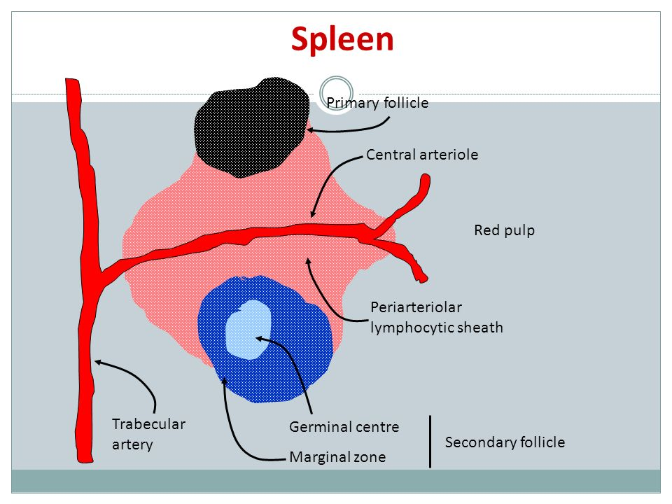 Spleen Primary follicle Central arteriole Red pulp Periarteriolar