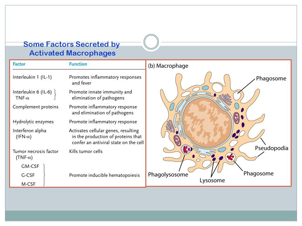 Some Factors Secreted by Activated Macrophages