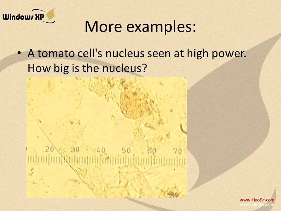 More examples: A tomato cell s nucleus seen at high power. How big is the nucleus