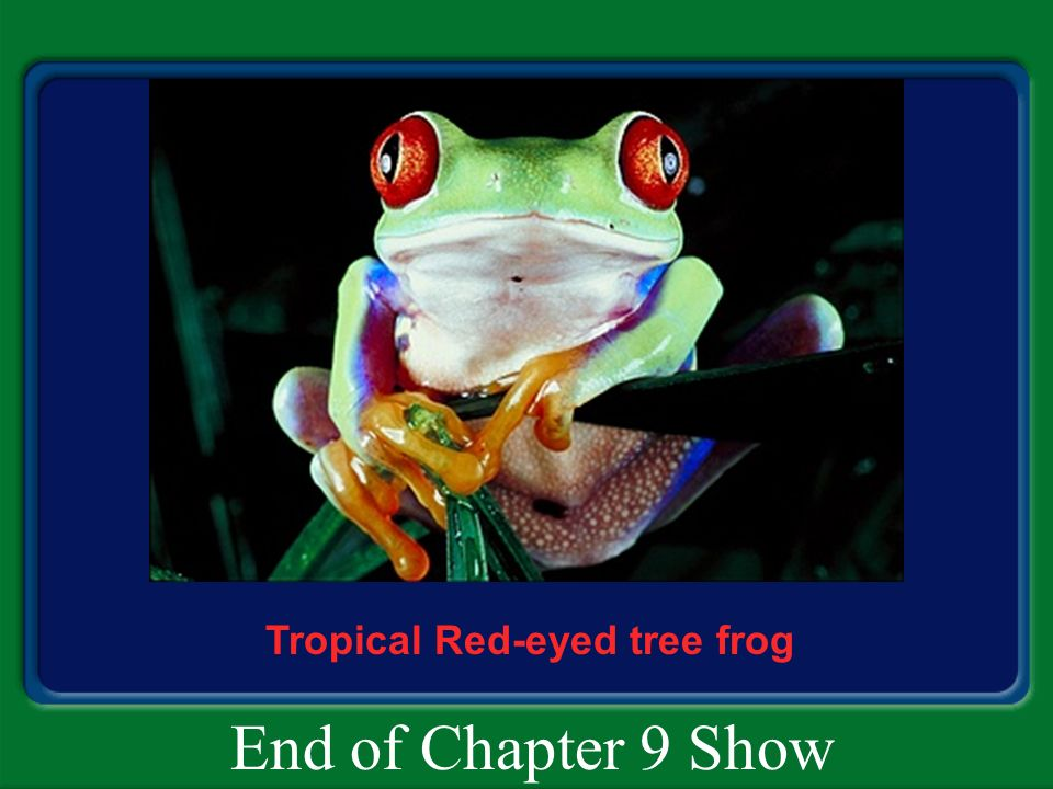 Tropical Red-eyed tree frog