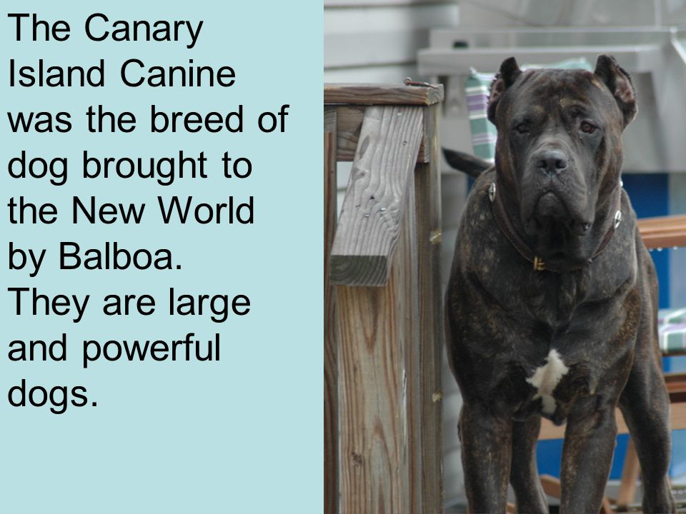 The Canary Island Canine was the breed of dog brought to the New World by Balboa.