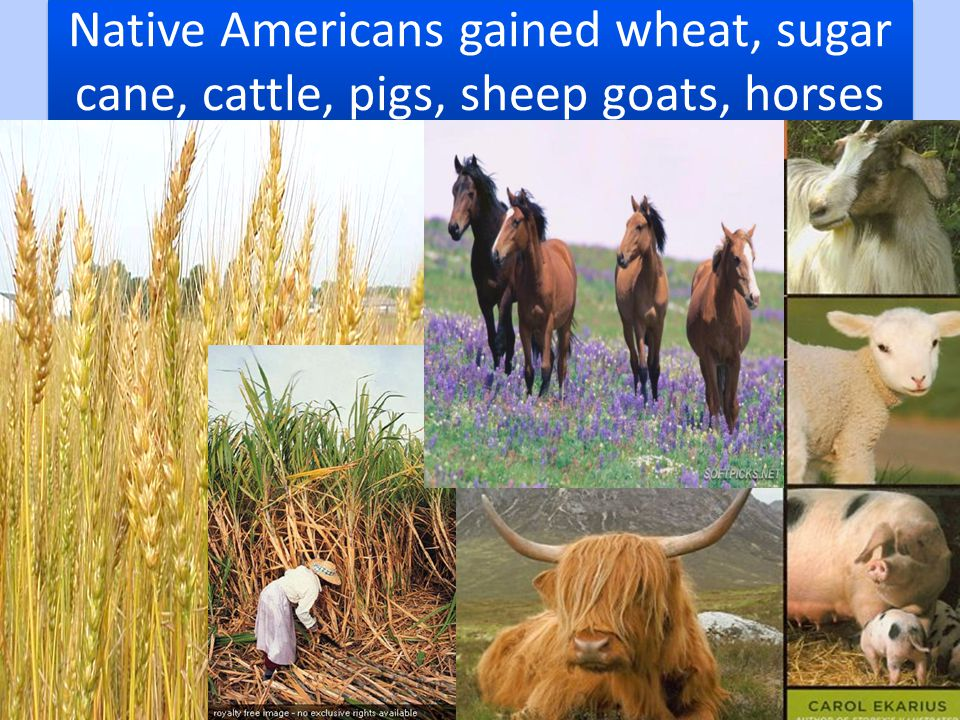 Native Americans gained wheat, sugar cane, cattle, pigs, sheep goats, horses