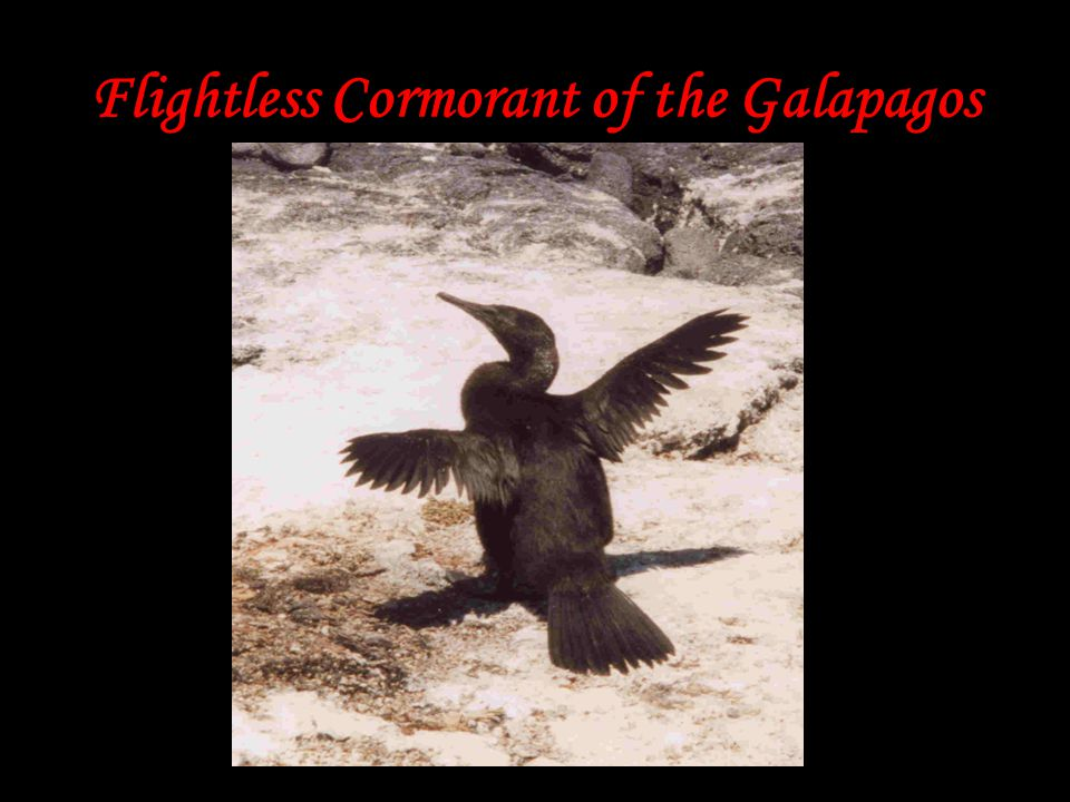 Flightless Cormorant of the Galapagos
