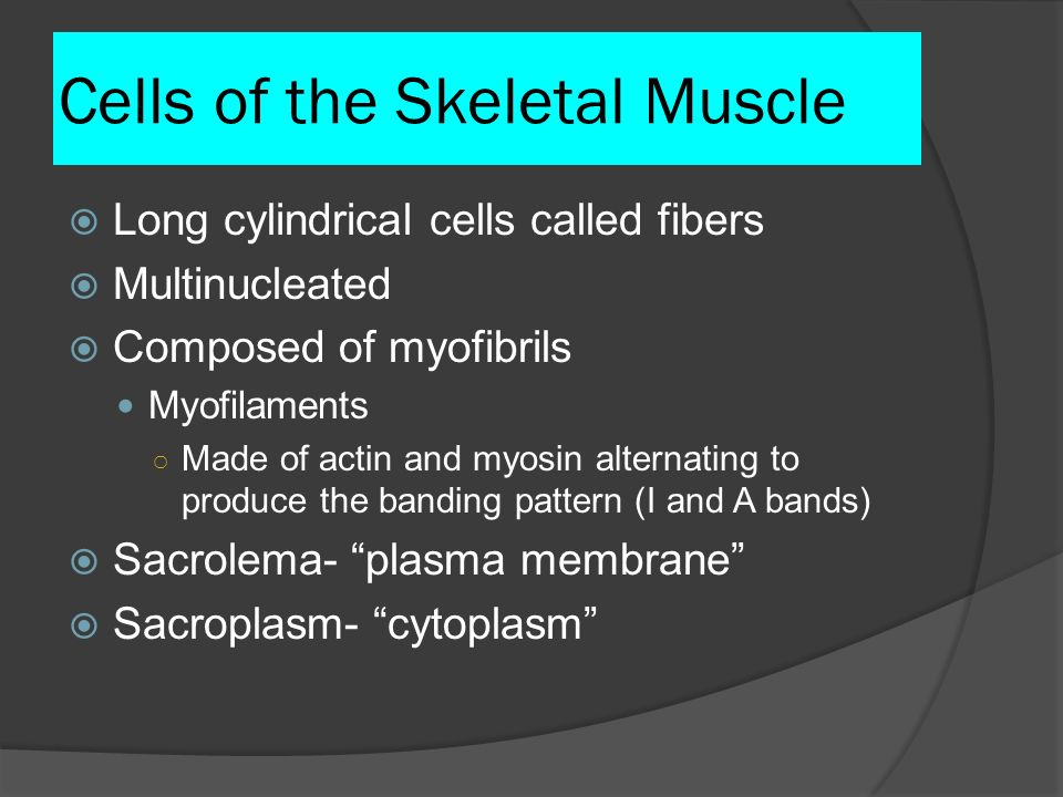 Cells of the Skeletal Muscle