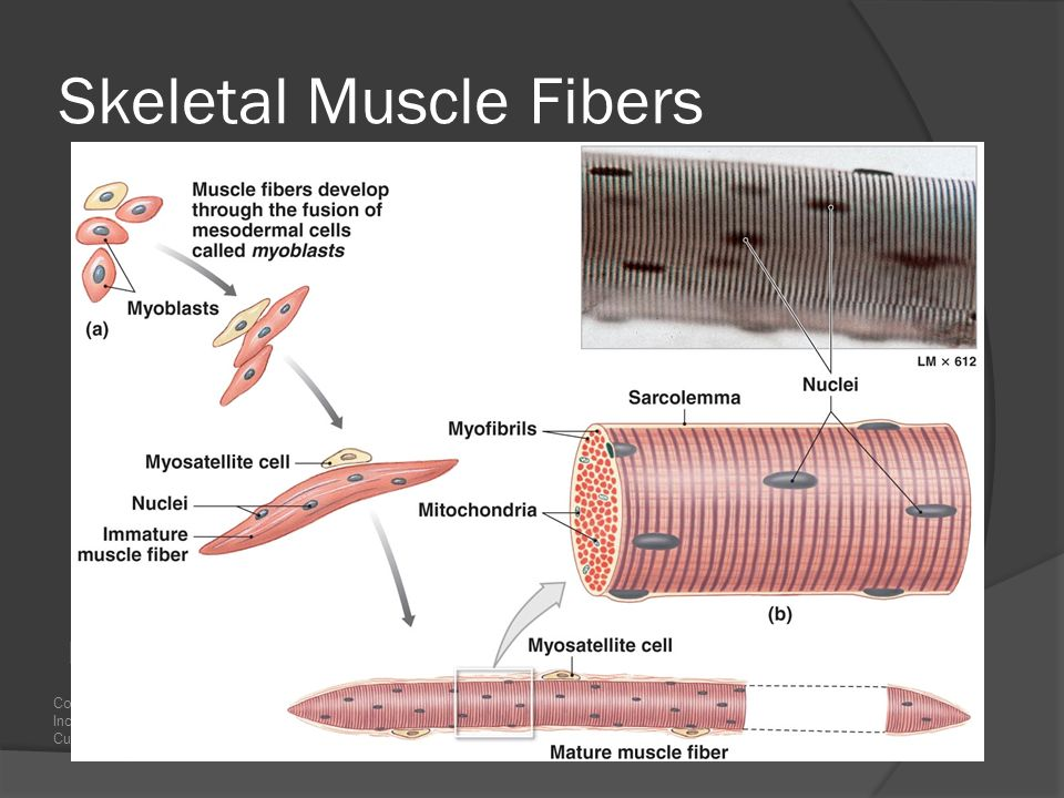 skeletal muscle a study of skeletal Skeletal system and muscular system  skeletal muscle cells are voluntary striated muscle cells  studycom has thousands of articles about every.