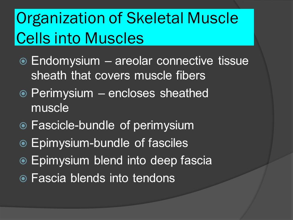 Organization of Skeletal Muscle Cells into Muscles