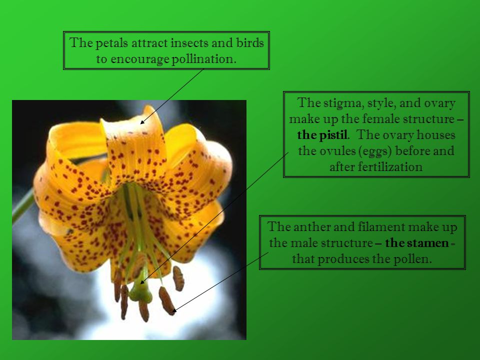 The petals attract insects and birds to encourage pollination.