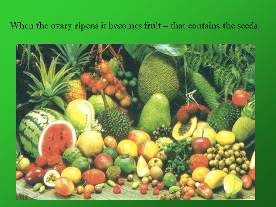 When the ovary ripens it becomes fruit – that contains the seeds.