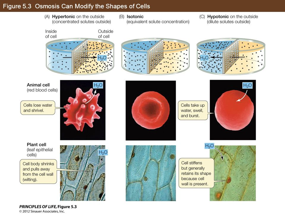 Figure 5.3 Osmosis Can Modify the Shapes of Cells