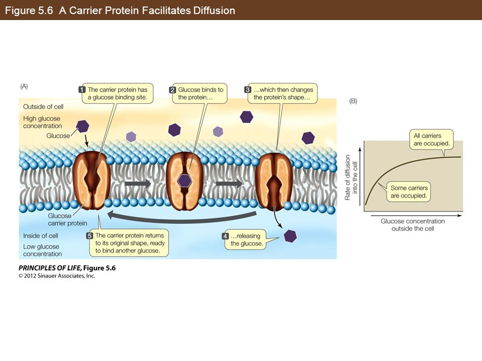 Figure 5.6 A Carrier Protein Facilitates Diffusion