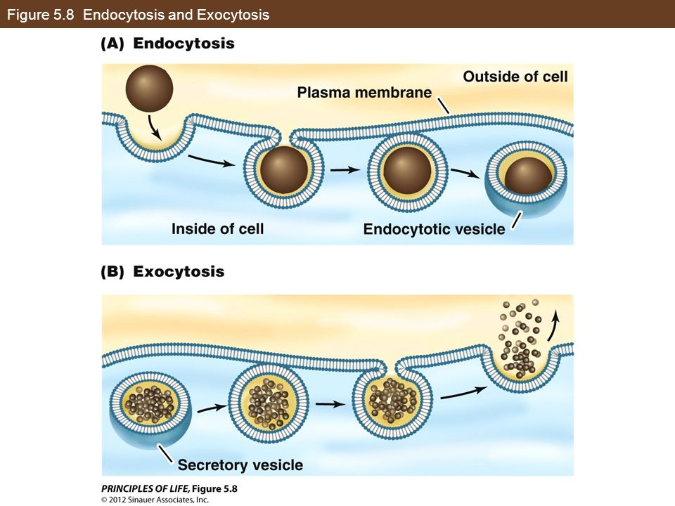 Figure 5.8 Endocytosis and Exocytosis